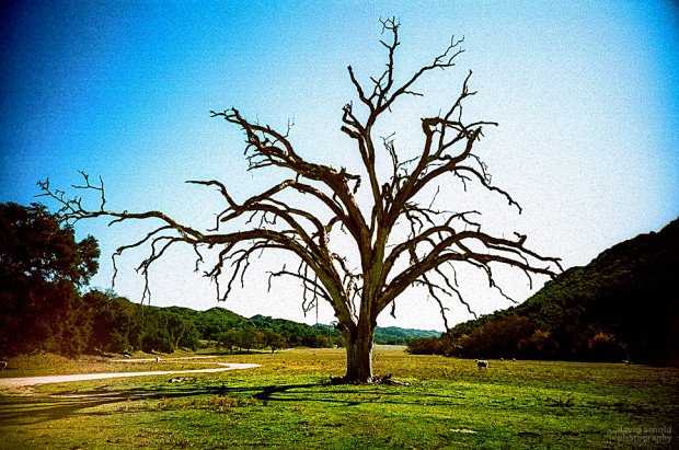 Big Dead Oak, Poso, California