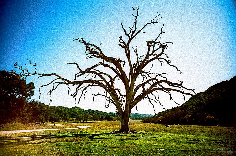 Big Dead Oak, Poso, California