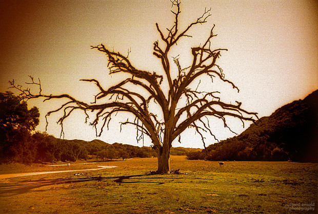 Big Dead Oak, Poso, California (2)