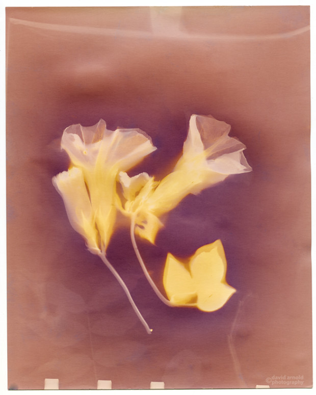 Lumen print featuring pink and yellow morning glories on a gold and brown field.