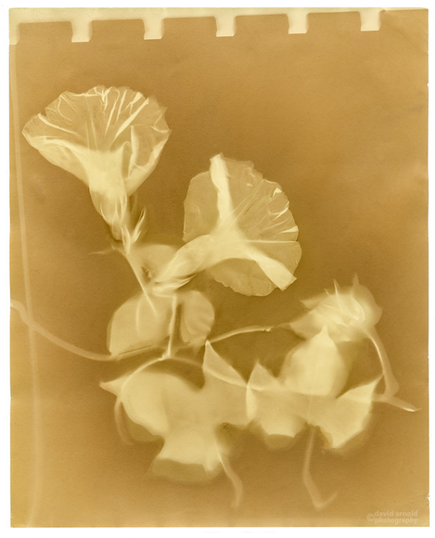 Lumen print featuring transparent morning glories on a gold and brown field.