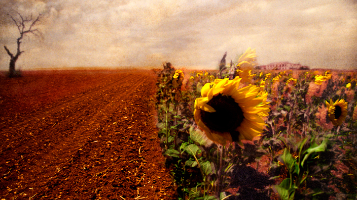 Sunflower Field, Spain