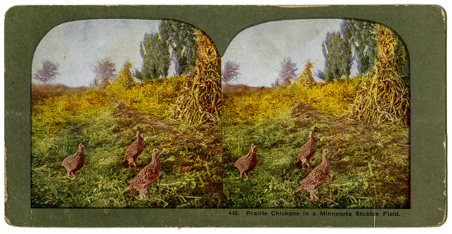 """""""Prairie Chickens in a Minnesota Stubble Field,"""" T. W. Ingersoll Stereo Card Collection, 1898"""