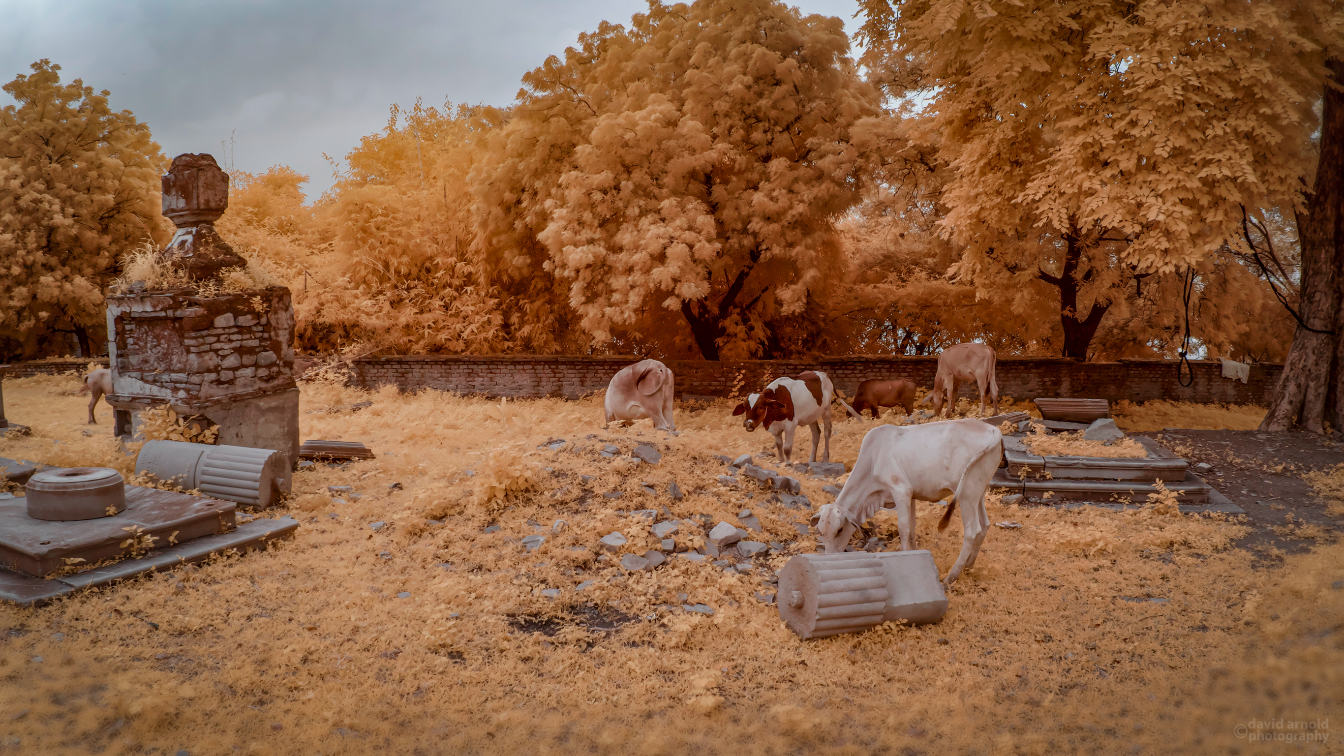 Tombs, Cows Grazing, British Cemetery, Chunar, India