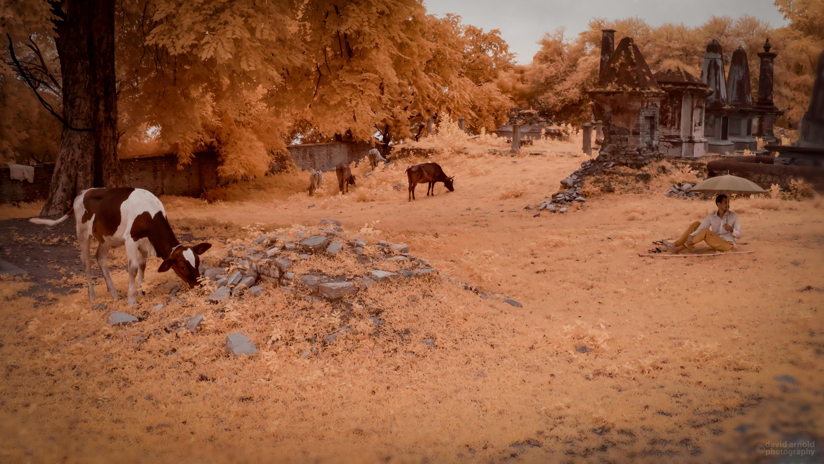 Cows Grazing, British Cemetery, Chunar, India