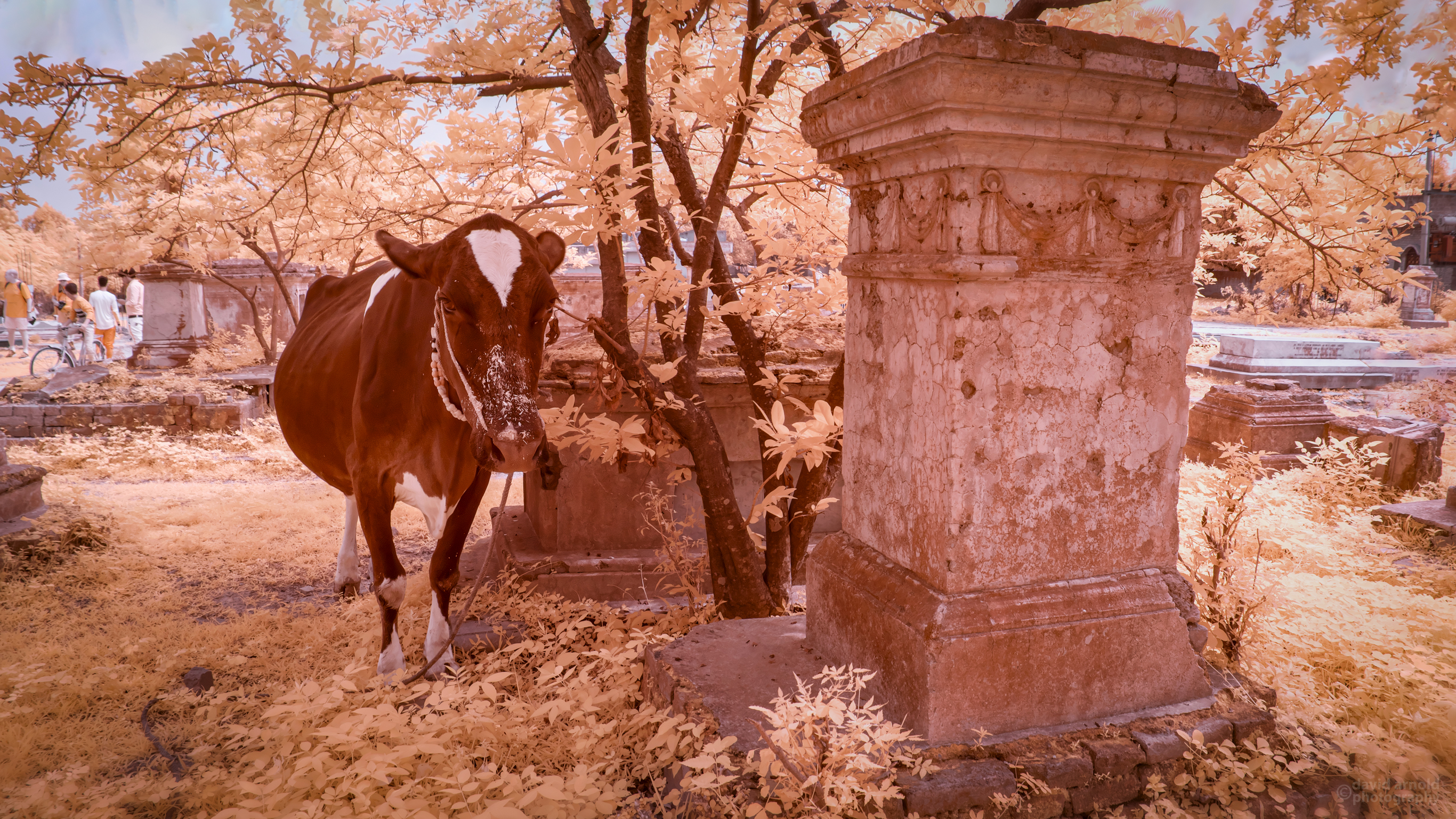 Cow beside a cemetery tomb.