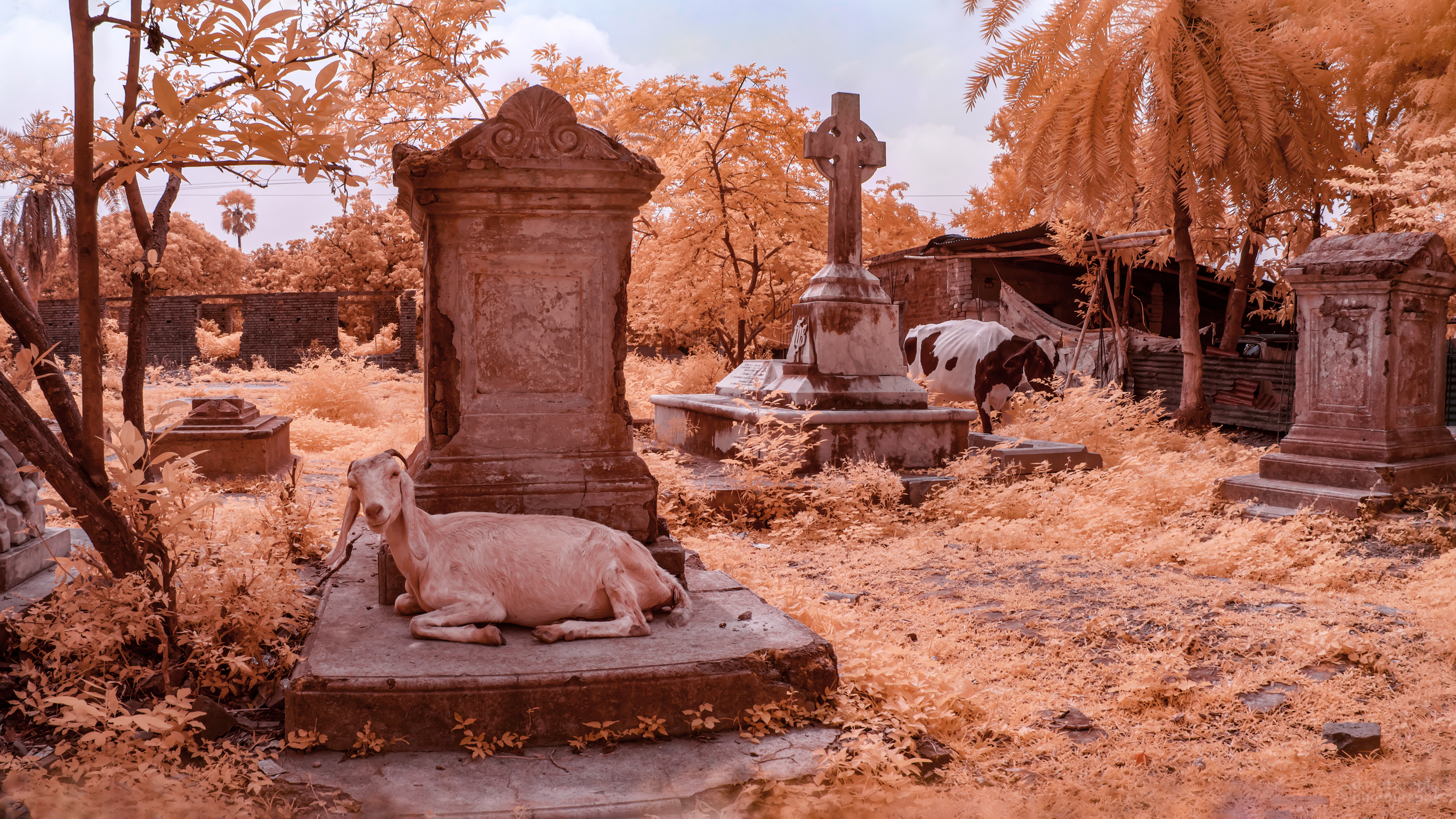 Goats resting on grave stones