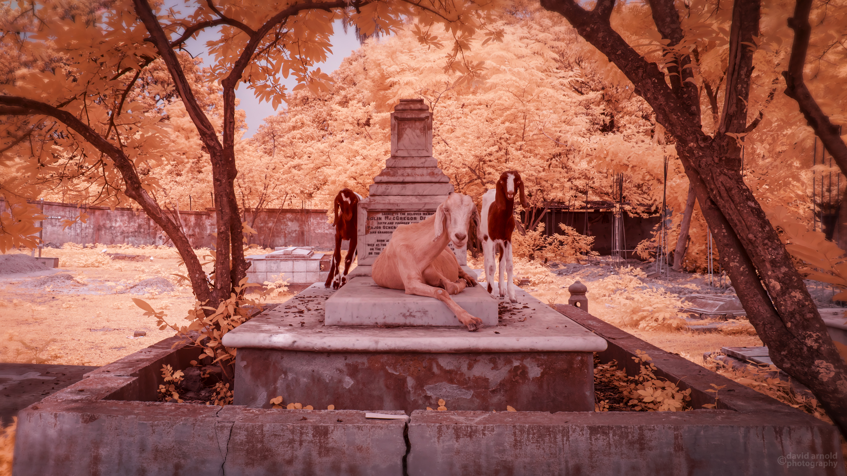 Three goats resting on a cemetery tomb.