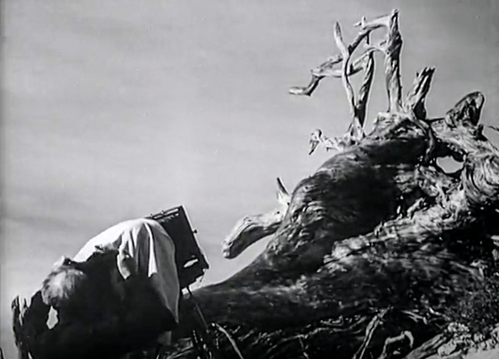 Edward Weston moving his camera into position to photograph a tree branch.