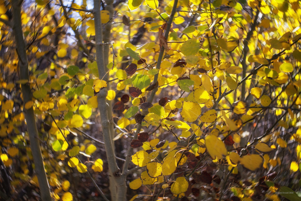 Aspen Leaves in the Ruby Mountains, Nevada