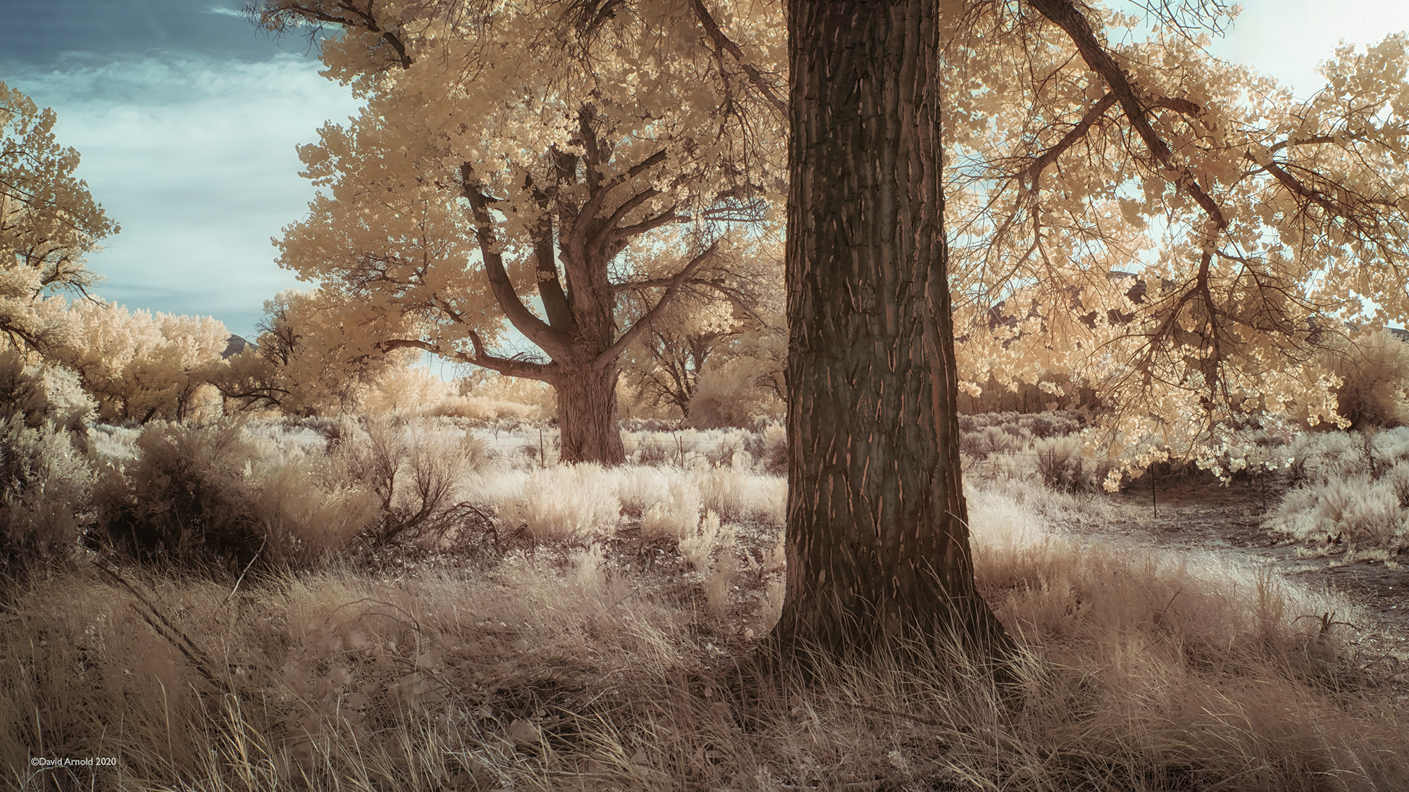 Cottonwoods, Afternoon Light, Fort Churchill, Nevada